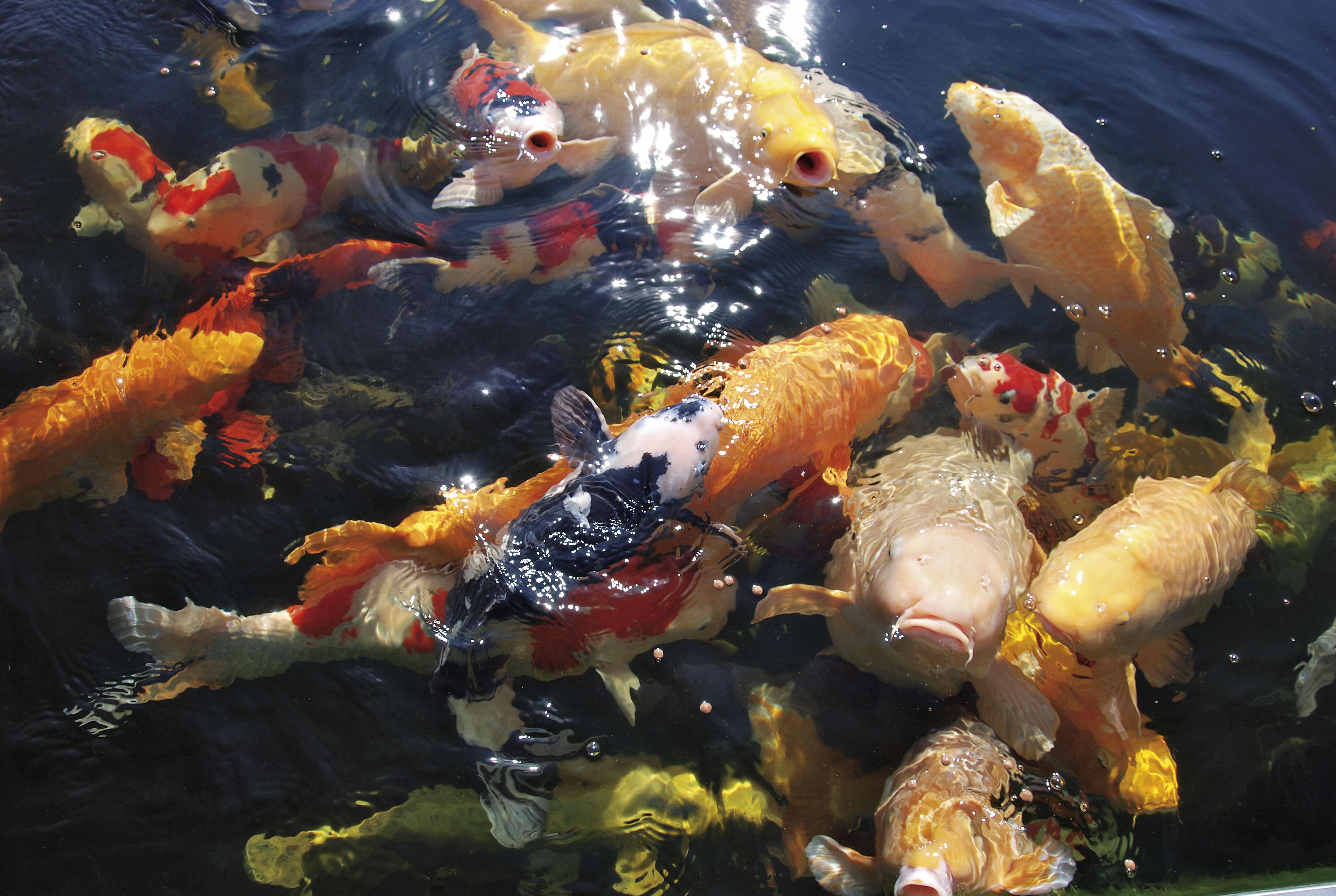 Fische im teich koi teichcenter gmbh for Koi teich zugefroren