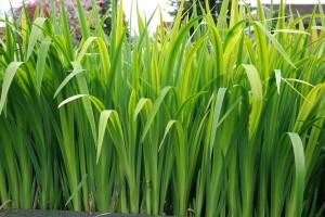 Pflanzen, Schwertlilien